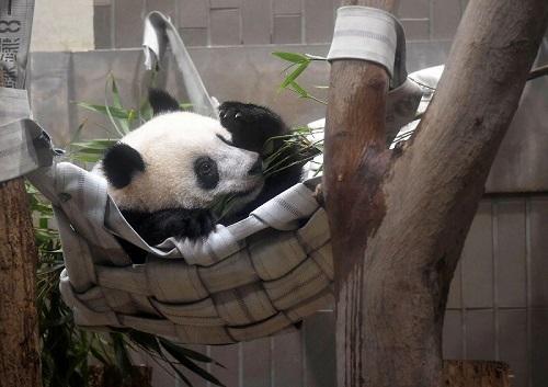 """""""香香""""11日在东京上野动物园内玩耍(日本《每日新闻》网站)"""