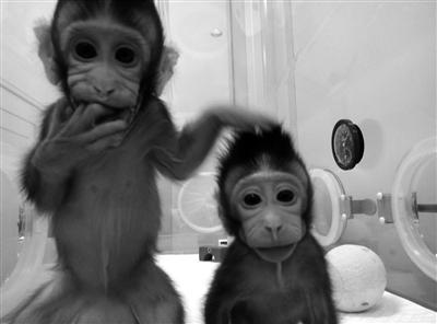 """实验动物模型的新时代,巩固了中国科学家主导""""灵长类全脑介观神经联接"""