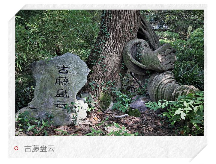 """新闻中心 浙江新闻  从""""幽谷听琴""""处出谷北上,盘根错节的古藤如同巨蟒"""